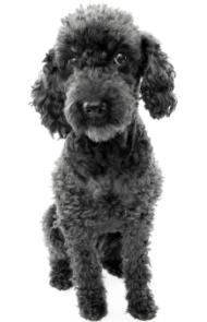 black toy poodle with silver on the top of his head and around his nose and body