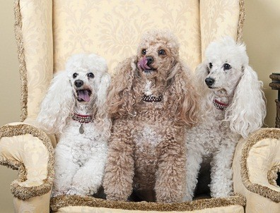 two white and one cream colored poodle on a beige chair