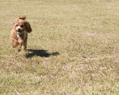 one red poodle running in the park in the spring with his shadow