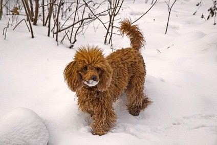 cute red miniature poodle with snow on his face as he stands in the snow