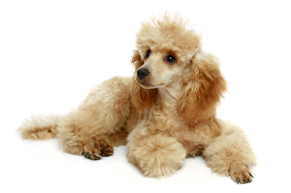about poodles apricot poodle with auburn colored ears and chest laying on the floor