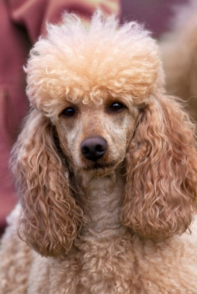 grown apricot miniature poodle