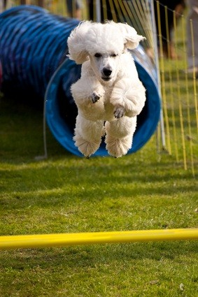 white toy poodle in an agility event emerging from a blue tube and jumping over a yellow pole
