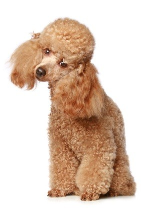 apricot standard poodle puppy with his head tilted to the side