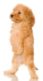 apricot poodle puppy standing on his 2 hindlegs