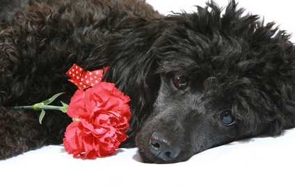 cute black miniature poodle lying down with a red carnation beside him