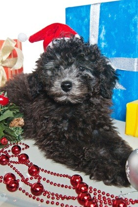 black poodle puppy with silver nose wearing a red santa hat and sitting on a table with maroon tinsel and a blue wrapped gift