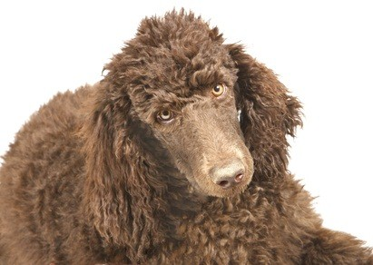 brown standard poodle looking soulful
