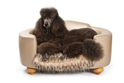 standard black poodle lying in his doggie bed