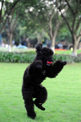 black miniature poodle with a pink ball in its mouth standing on hind legs playing on the green grass