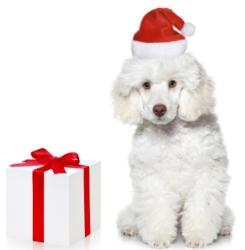christmas dogs white poodle puppy wearing a red and white santa hat sitting beside a present in a white box tied with a red ribbon