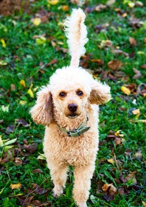 cafe au lait colored poodle standing in green grass with fall colored leaves