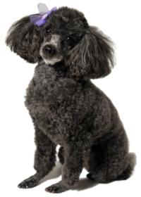 black toy poodle with a silver nose sitting down with a purple ribbon in her hair