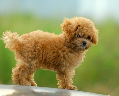 a cafe au lait toy poodle puppy standing outside