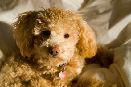 apricot poodle pup laying on a blanket