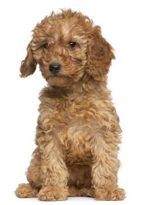 auburn puppy poodle sitting down looking bored
