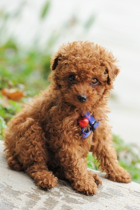 brown toy poodle puppy sitting down with a blue clolar with a red ball on it