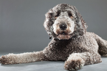 silver and gray labradoodle lying down