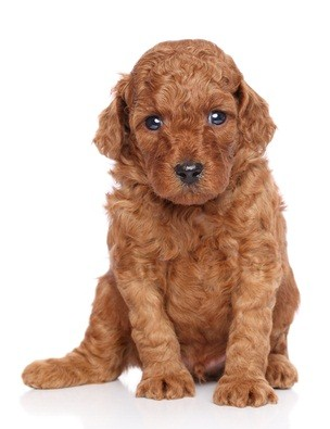 red auburn poodle puppy as he sits down looking irritated