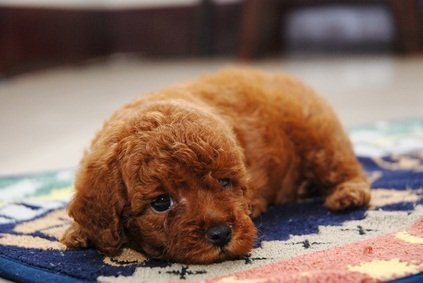 adorable red toy poodle puppy laying down on a blue, pink and white rug