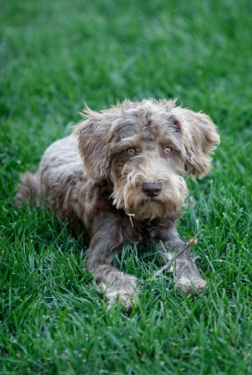 schnoodle puppy laying in the grass
