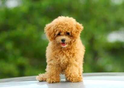auburn poodle puppy sitting down