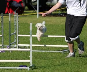 dog agility events white toy poodle jumping over poles on a dog agility course on green grass