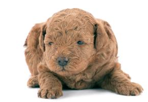 auburn colored cute poodle puppy baby laying on the floor