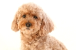 dog colors apricot poodle