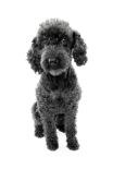 black and silver phantom poodle sitting down
