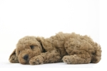 cafe au lait colored poodle puppy lying down