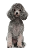 gray and cream colored parti poodle sitting down