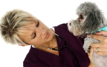 dog doctors silver toy poodle with a female veterinarian