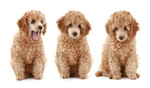three apricot colored  poodle puppies in a row sitting down
