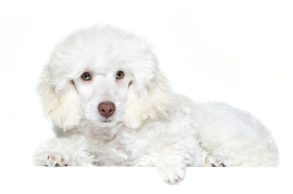 white poodle laying down