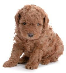 red poodle puppy half sitting and half lying down