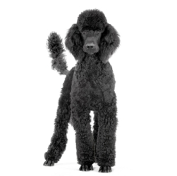 royal black poodle standing up