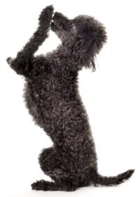 black toy poodle on hind legs high fiving