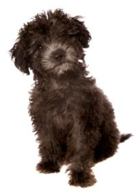 black toy poodle puppy with silver nose sitting down