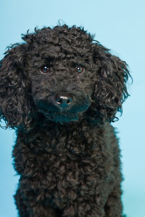 black toy poodle sitting