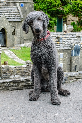 standard gray poodle sitting down