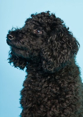 cute black toy poodle sitting towards the side