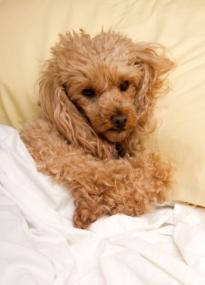 doggy beds apricot poodle with his head on a tan pillowcase and laying under a white sheet