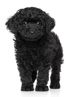 black toy poodle puppy with soulful eyes standing up