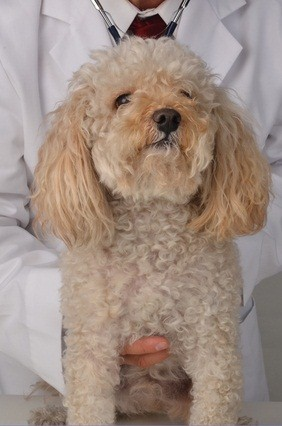 cream colored toy poodle at the vets office