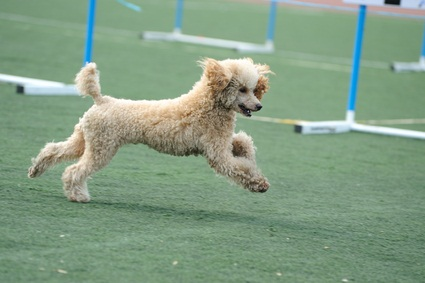cream and tan colored toy poodle running in an event on a green field