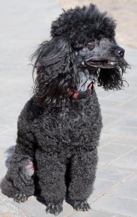 black toy poodle sitting down and staring off into the distance