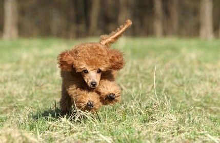 red miniature poodle puppy running in the grass outside