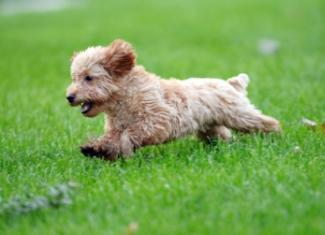finding time to exercise cream poodle puppy running in the grass