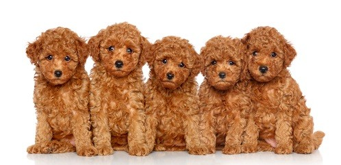 five red poodle puppies all sitting beside each other